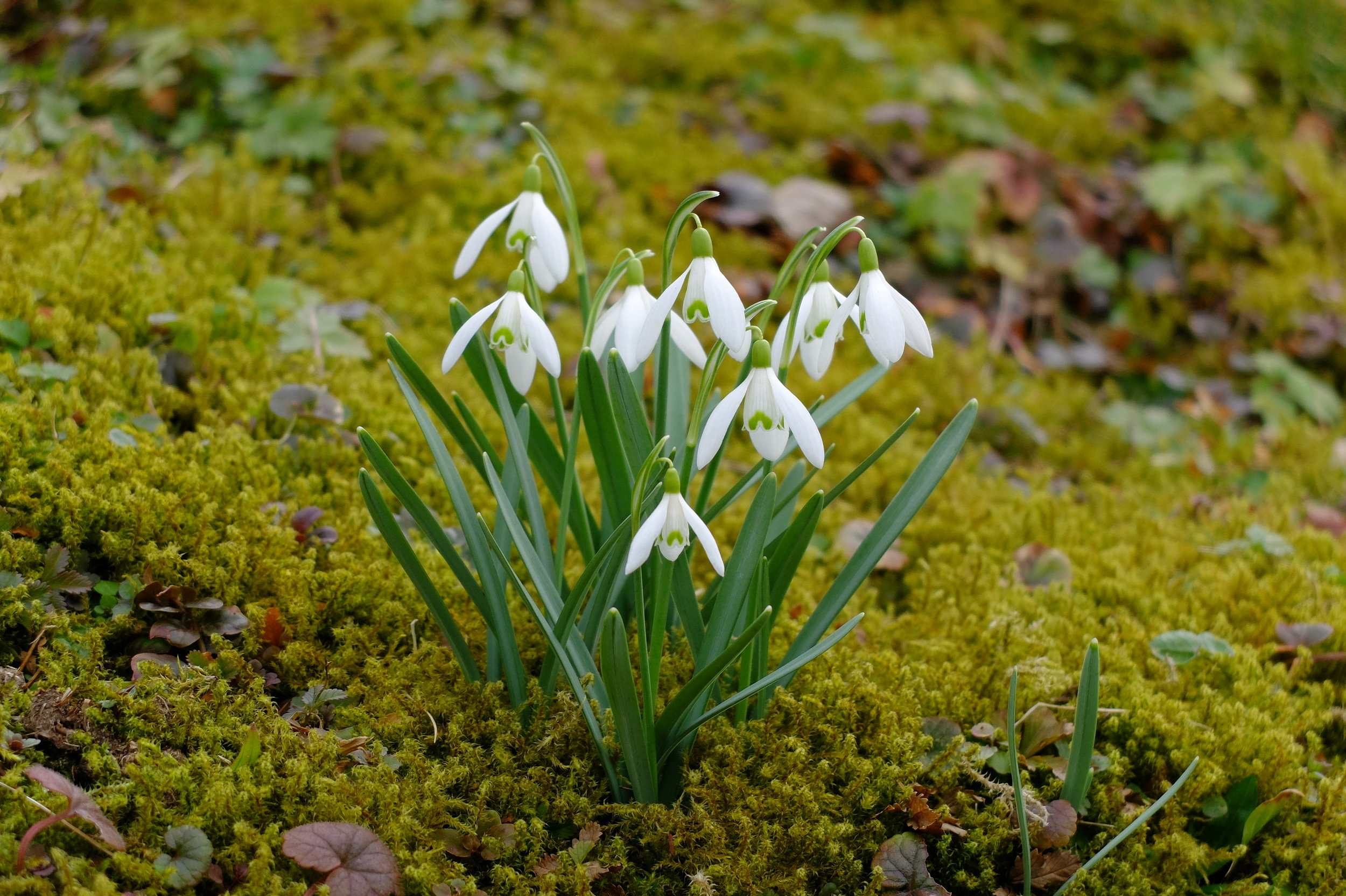 The snow drop flower is seen all over Germany and typically blooms before Spring begins.