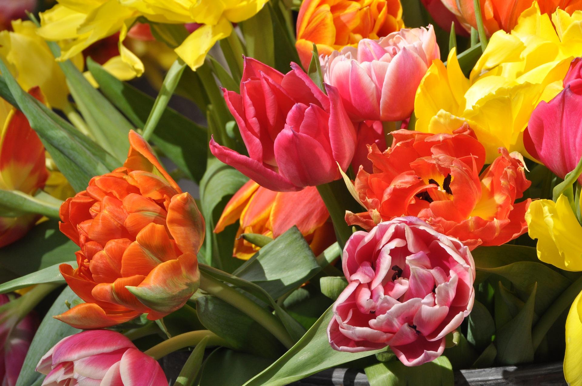 tulip-3331601_1920.jpg