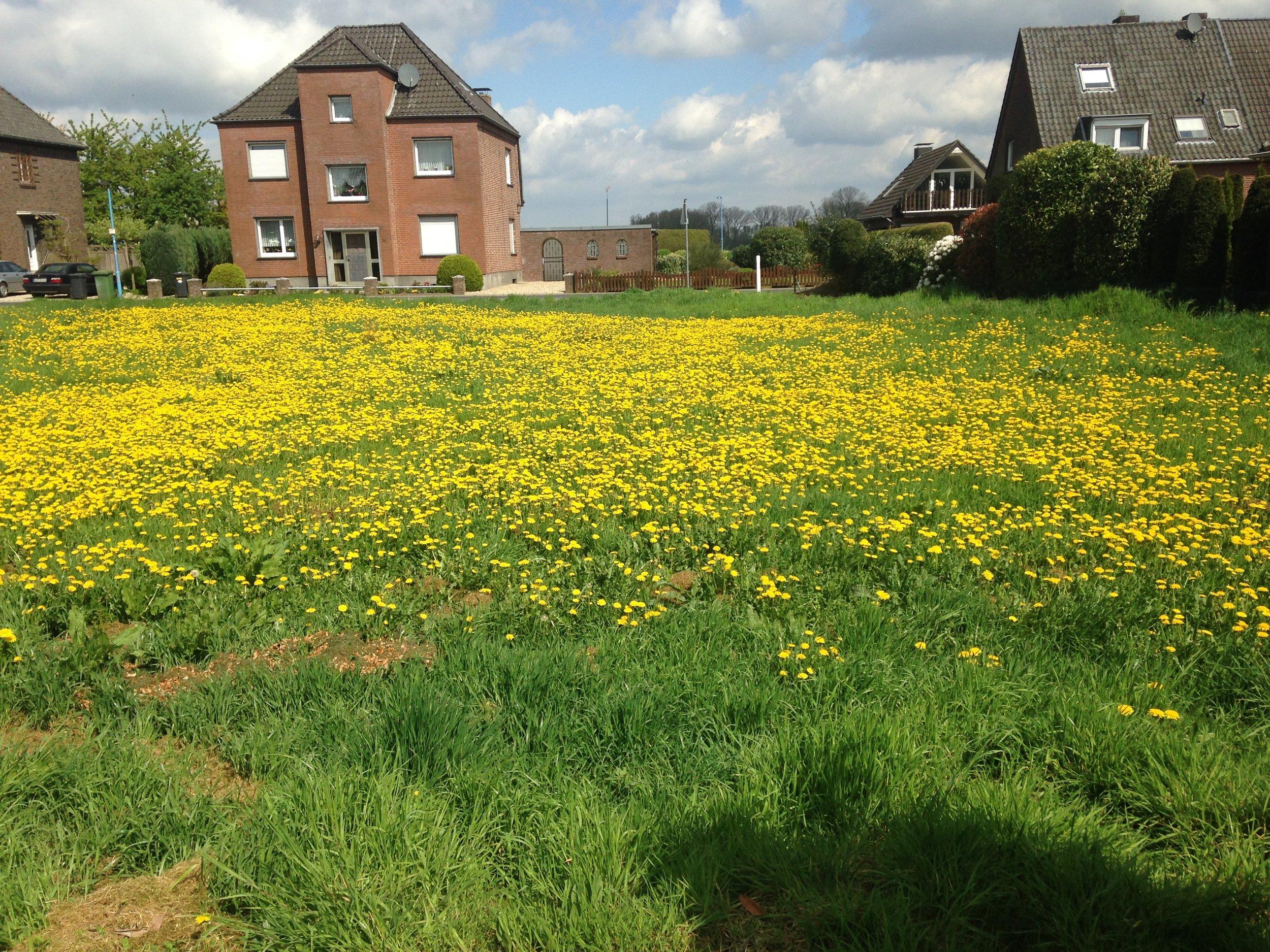 Field of dandelions across for the school yard