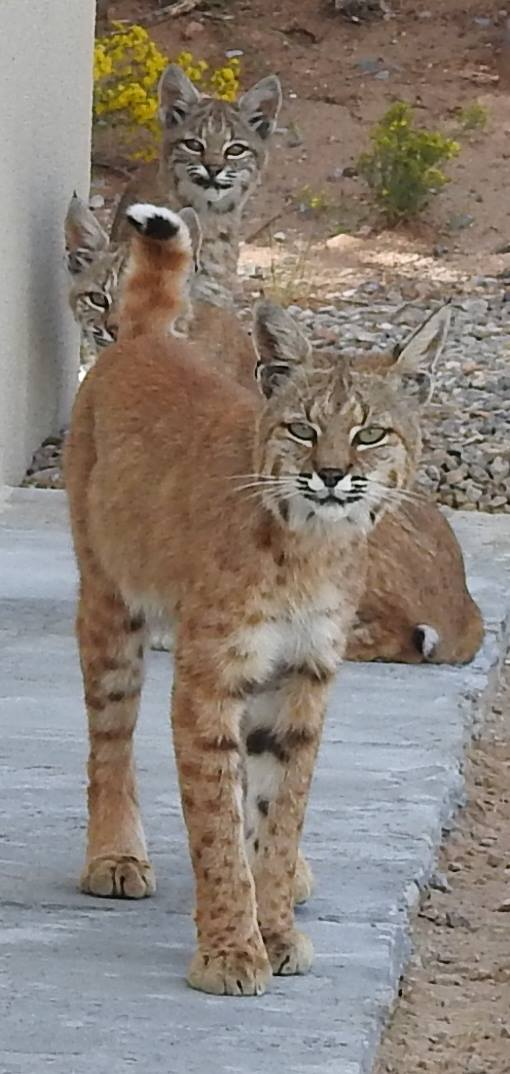Lynx With Kittens