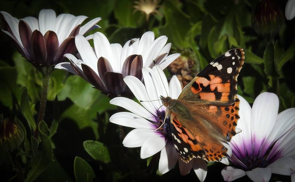 Butterflied are Still Here