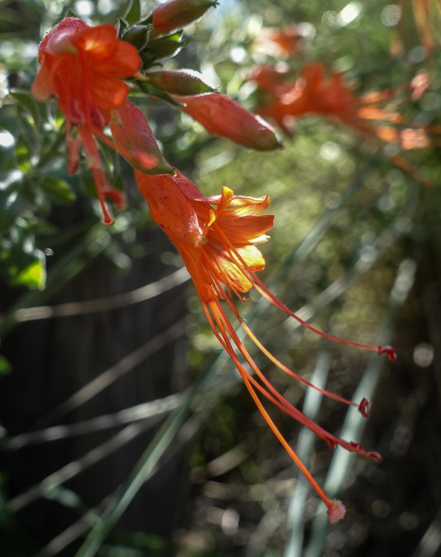 Bush California Fuchsia