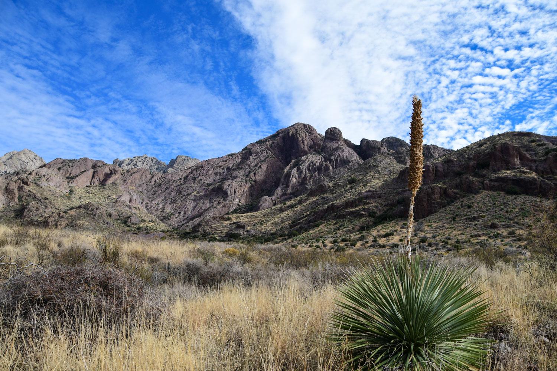 Yucca in Organ Mountains