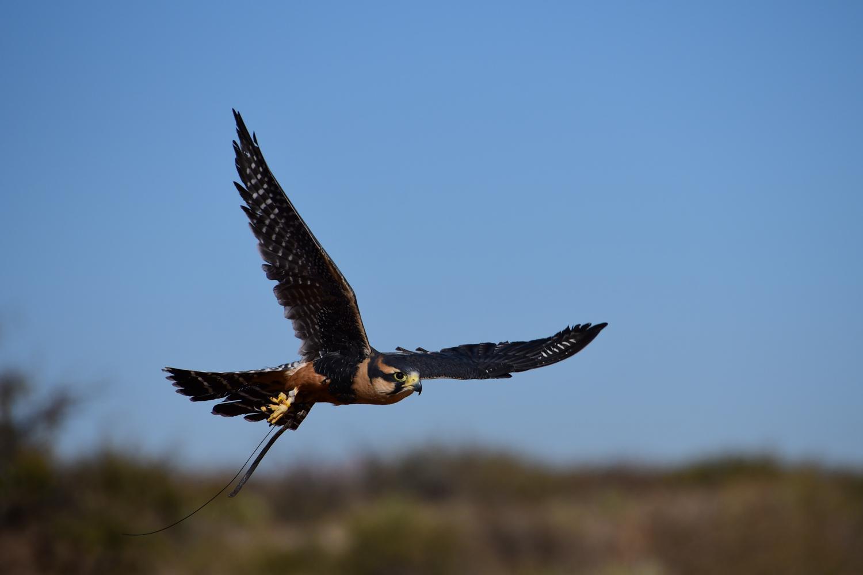 Matthew Mitchell's Peregrine Falcon