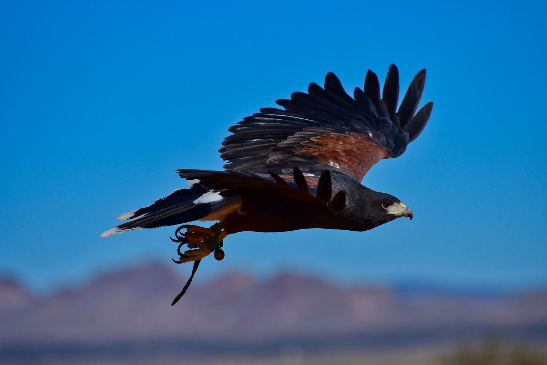 Matthew Mitchell's Harris Hawk