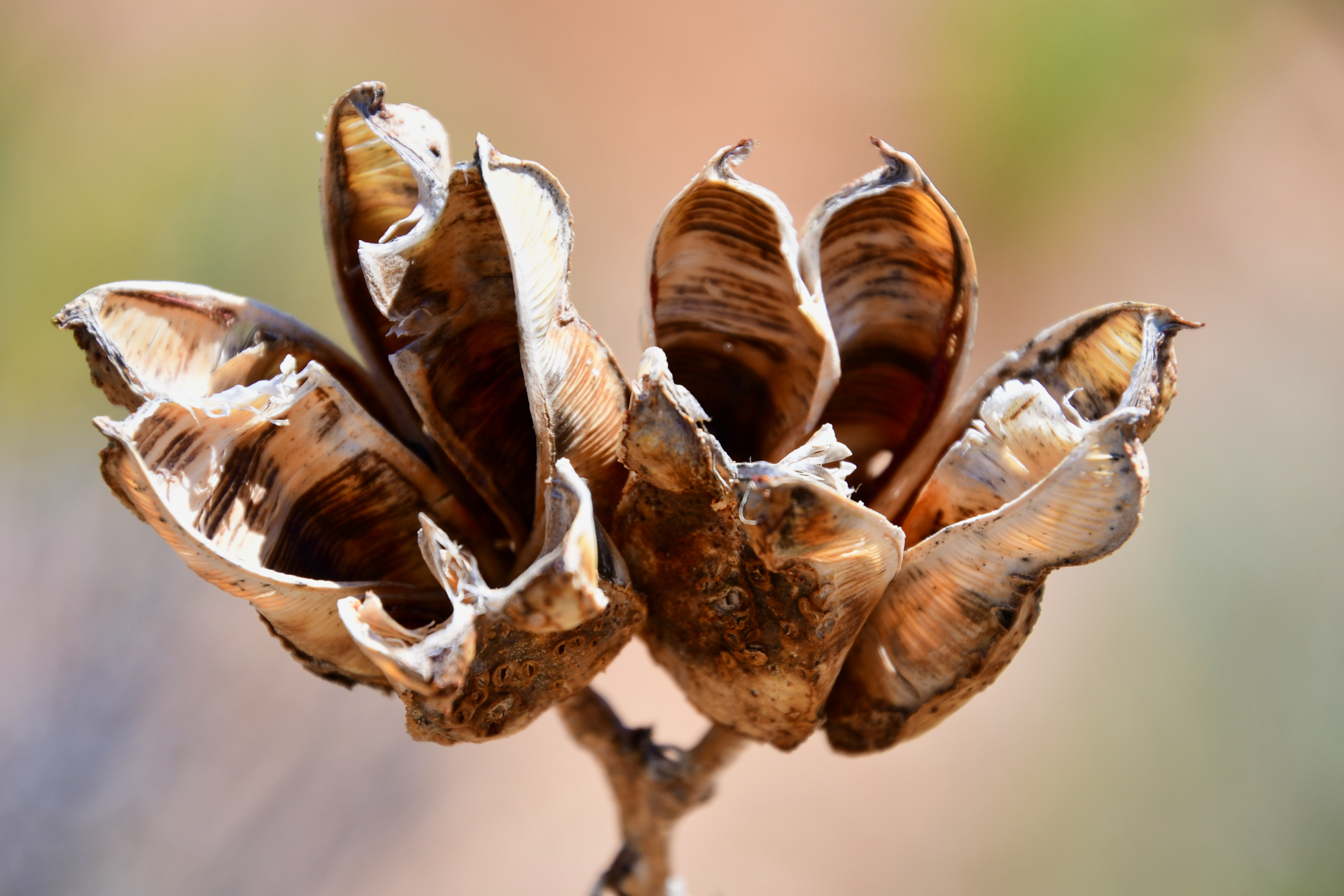 Soapweed Yucca Seed Pods