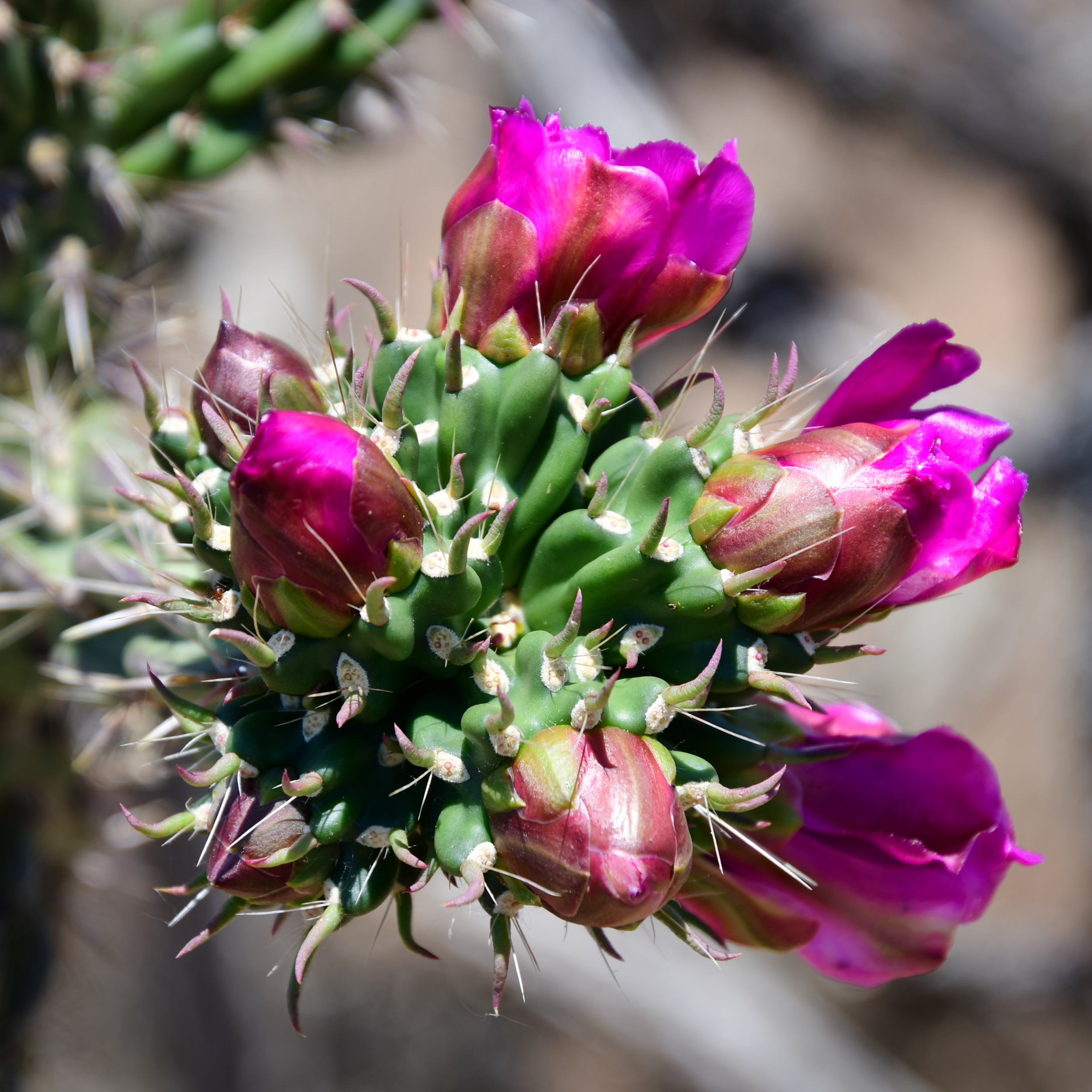 Cane Cholla Cactus Flower Buds