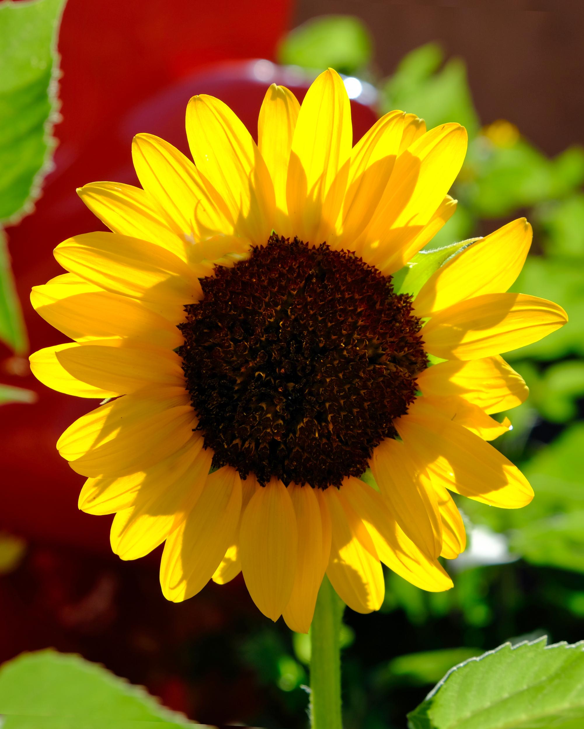 Suntastic Yellow Sunflower