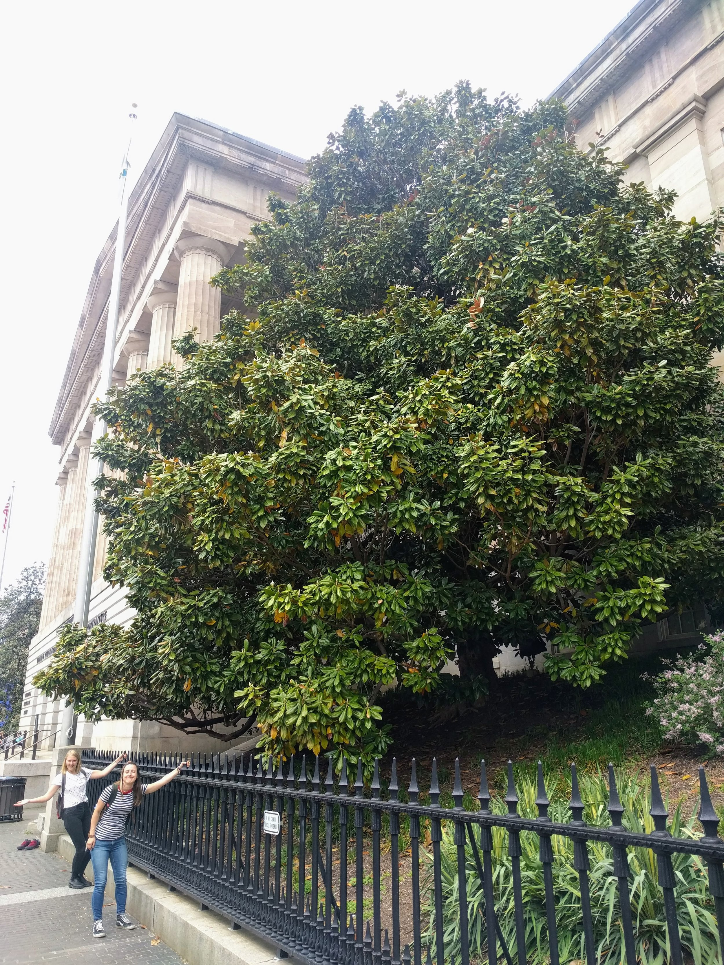The biggest magnolia tree I've ever met, outside of the National Portrait Gallery