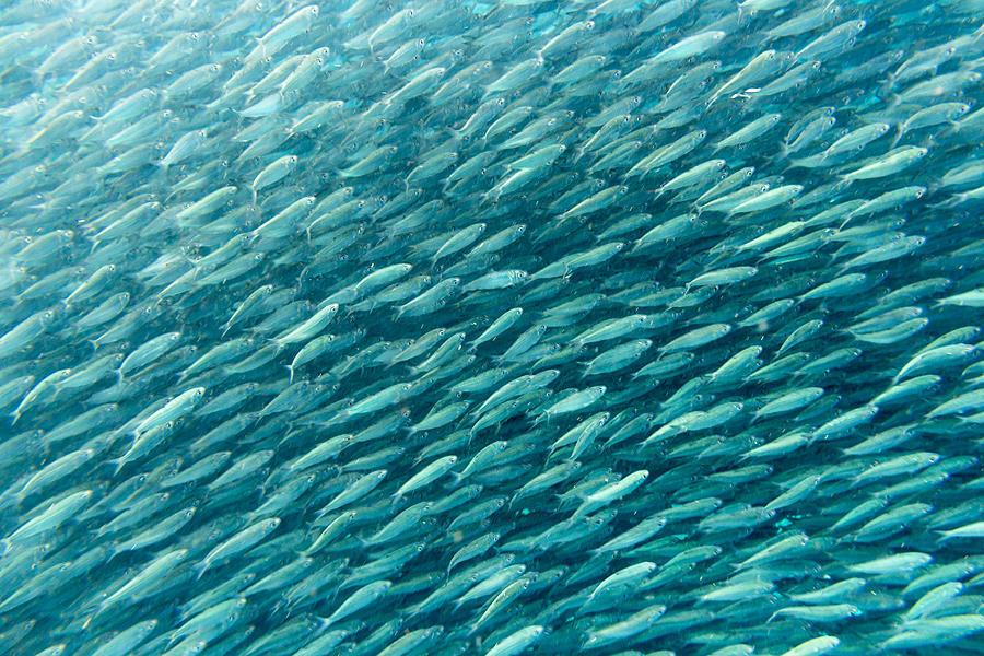 the-sardine-run-at-moalboal-cebu-island-thomas-janisch.jpg