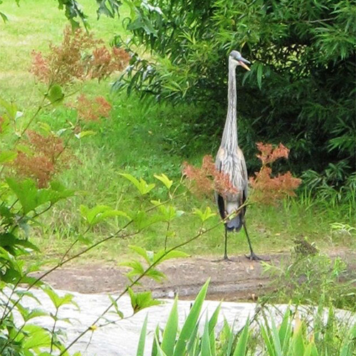 Heron at Pond