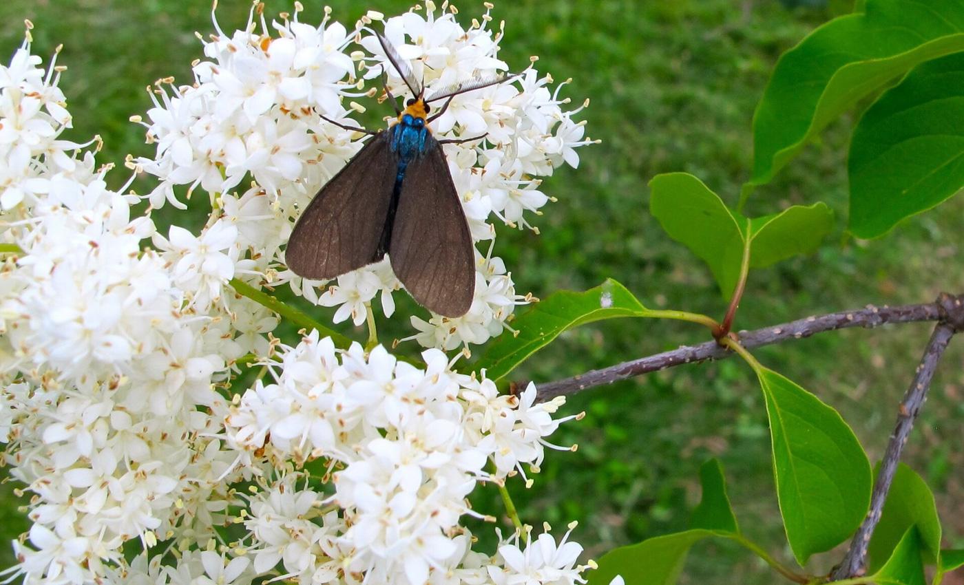 Syringa, Moth
