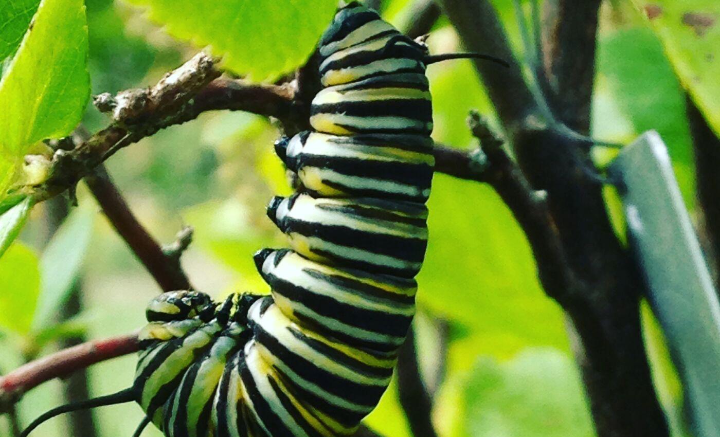 RG_Slideshow_monarch2.jpg