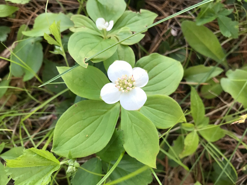 Bunchberry,  Cornus canadensis , carpets the forest floor in the Pine Allee.
