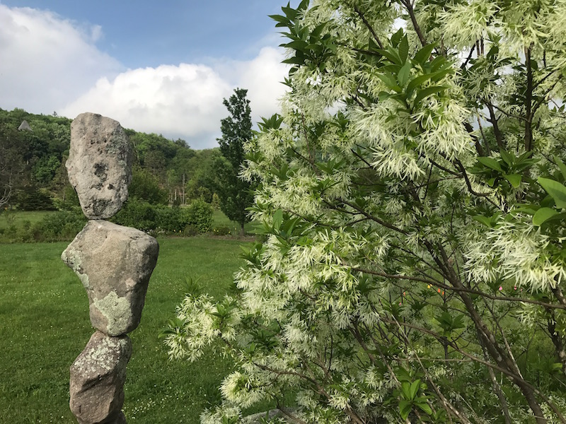 Native fringe tree blooms with local artist Harry Matthews' stone sculpture.