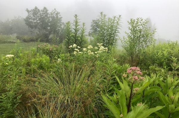 Native perennials Joe Pye-weed, swamp milkweed and New York ironweed bloom in the morning mist in the Rain Garden.