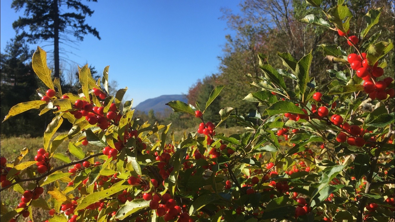 Winterberry,  Ilex verticillata,  frames the East Meadow and views of the Catskill Mountains.