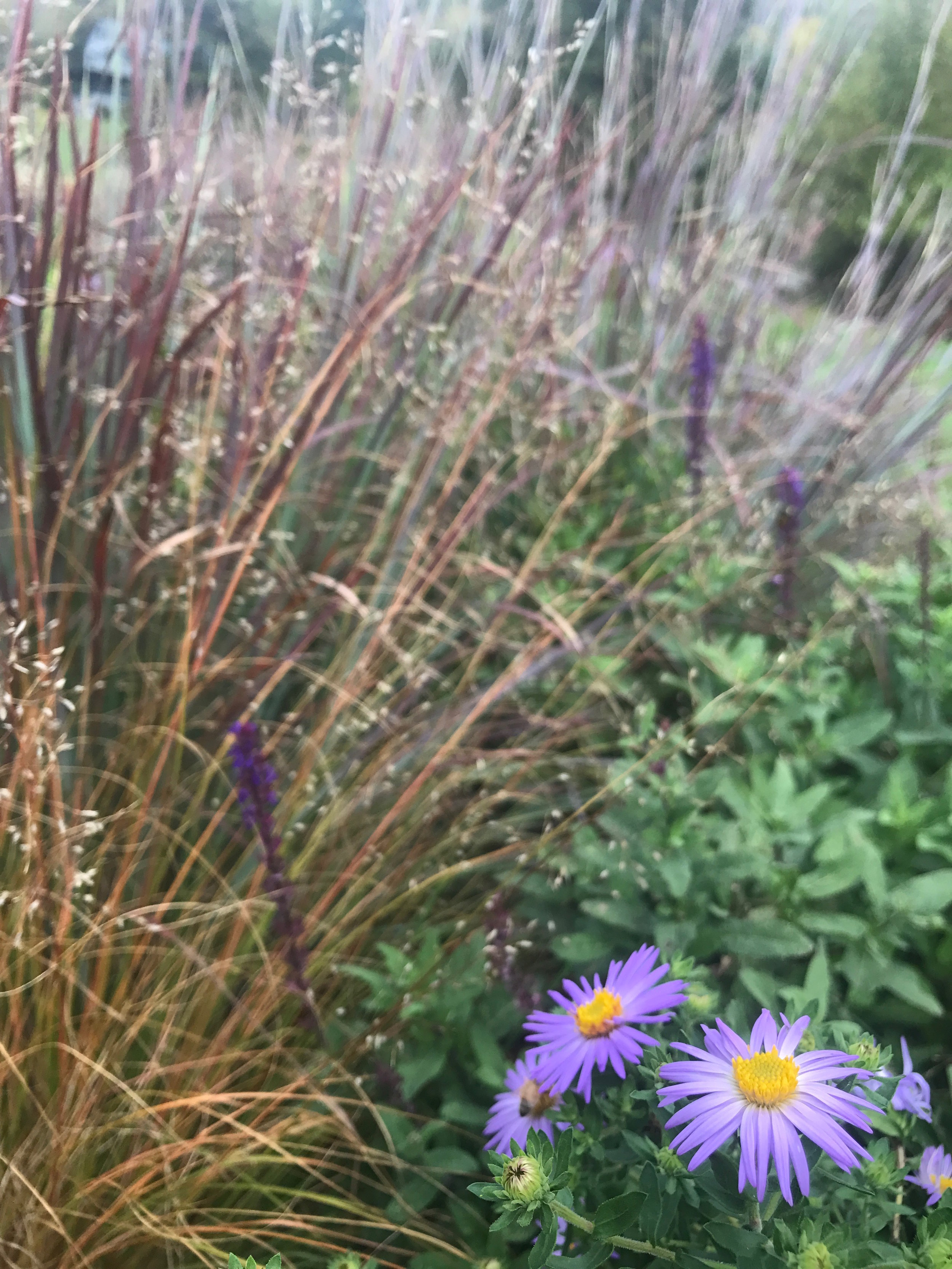 Asters and salvia bloom with the blue-green-purple foliage of the native grass little bluestem in the Spiral Labyrinth.