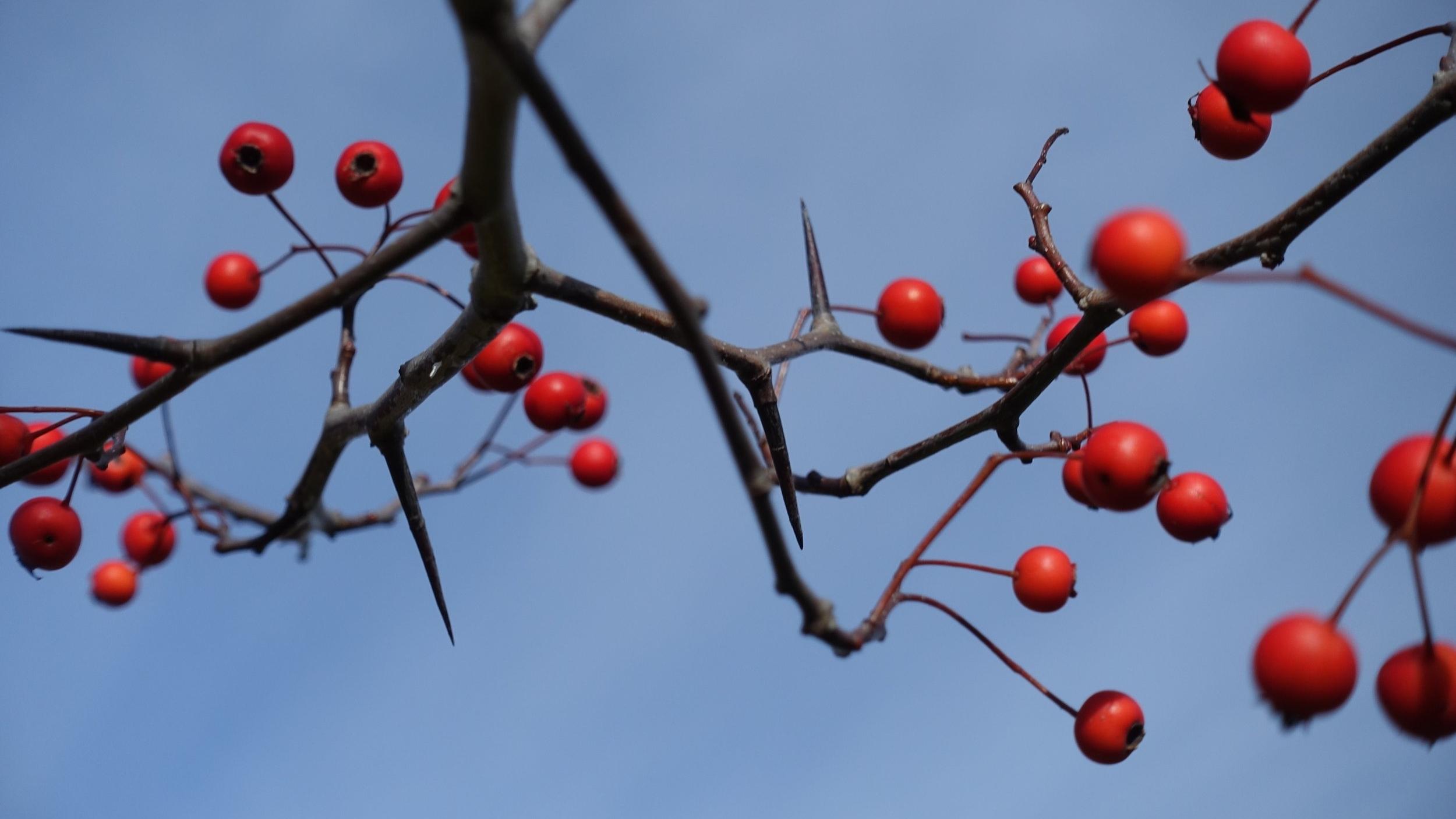 hawthornfruit-1.jpg