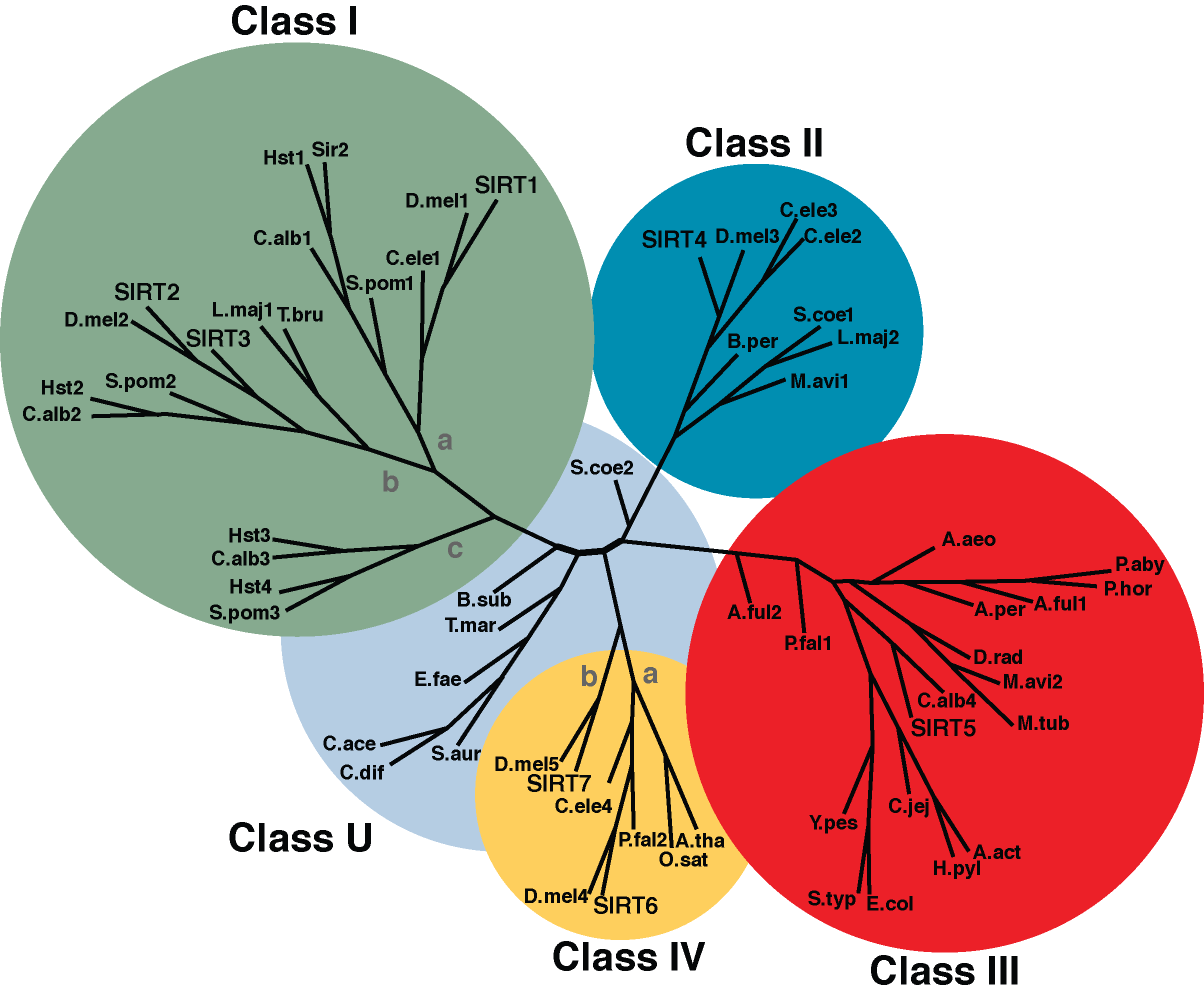 An unrooted tree diagram of a phylogenetic analysis of the conserved sirtuin core deacylase domain sequences, divided into class I, II, III, IV and U groups; classes I and IV are further divided into sub-classes