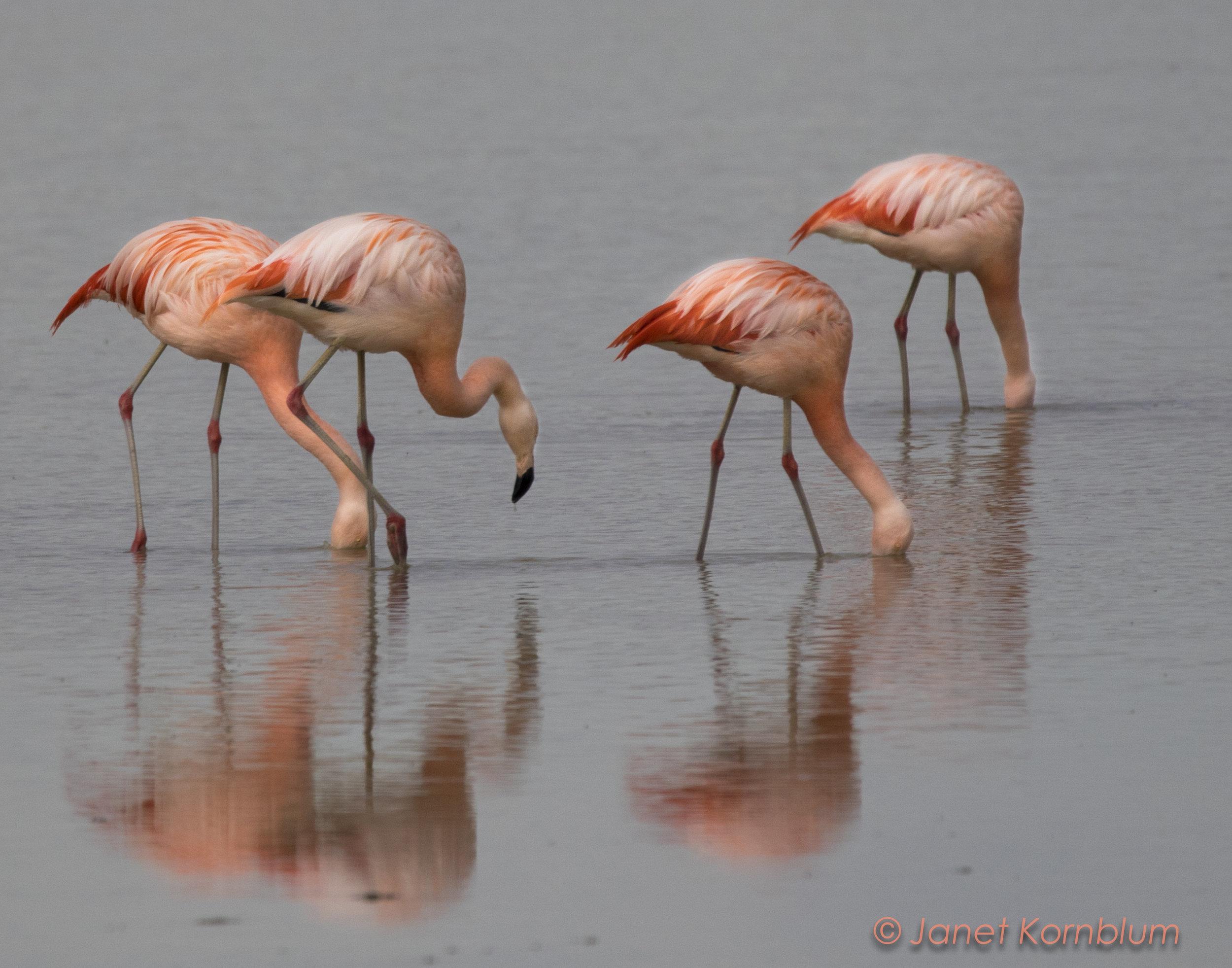 Chilean flamingoes 11x14.3-2.jpg