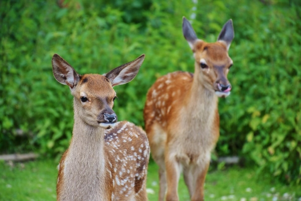 Hungry deer can destroy your landscape investment