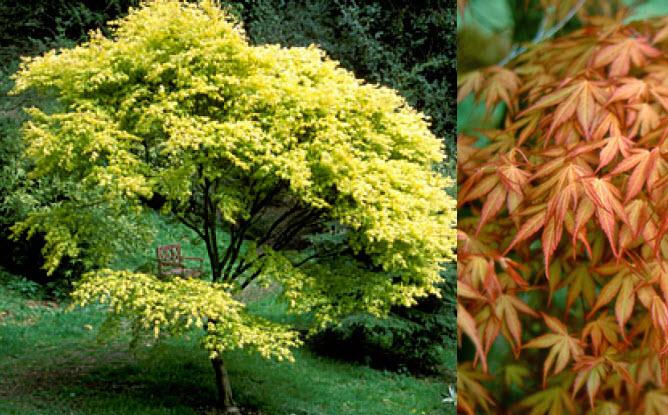 Acer palmatum 'Katsura'Katsura Japanese Maple -
