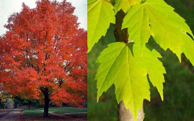 Acer rubrumRed maple -