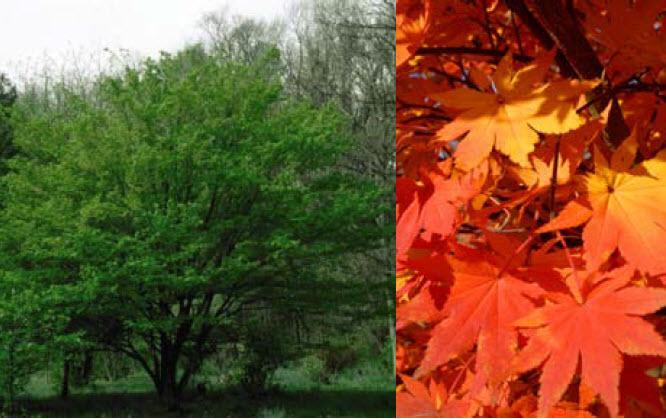 Acer pseudosieboldianumKorean Maple -