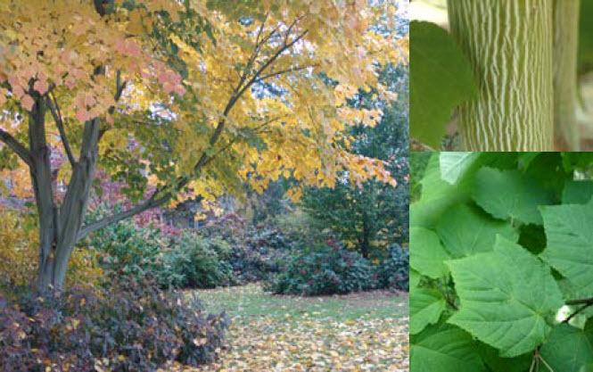 Acer tegmentosum 'White Tigress'Striped Bark Maple -