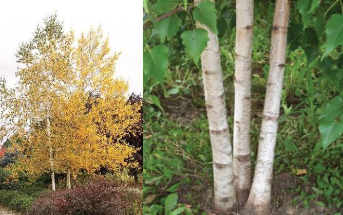 Betula populifolia 'Whitespire'Whitespire Birch -
