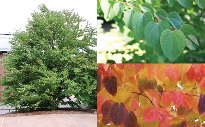 Cercidiphyllium japonicumKatsura Tree -