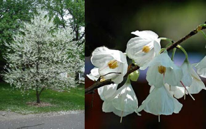 Halesia carolinaCarolina Silverbell -