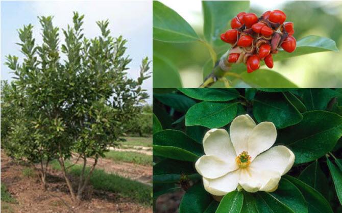 Magnolia virginianaSweetbay Magnolia -