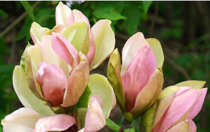 Magnolia x brooklynensis 'Woodsman'Woodsman Magnolia -