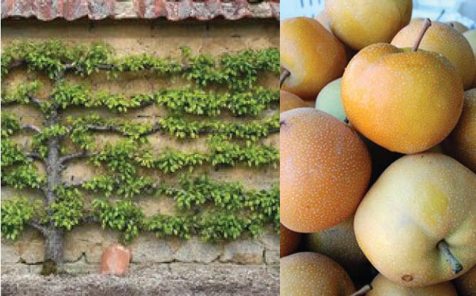 Pyrus pyrifolia 'Shinseiki' (Espalier)Espalier Asian Pear -