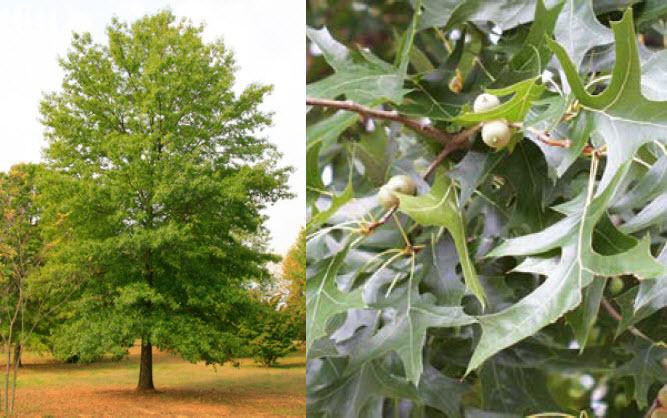 Quercus palustrisPin Oak -