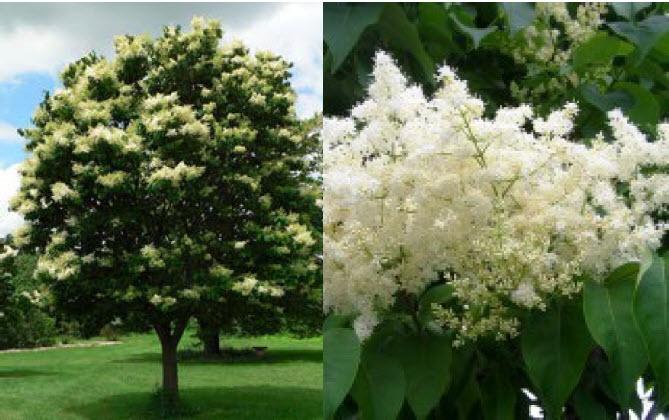 Syringa reticulataJapanese Tree Lilac -