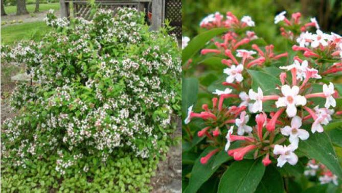 Abelia 'Mosanensis'Fragrant Abelia -