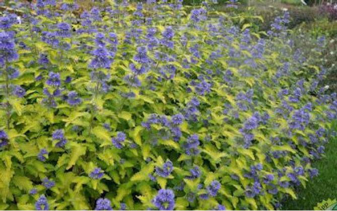 Caryopteris 'Hint of Gold'Bluebeard -