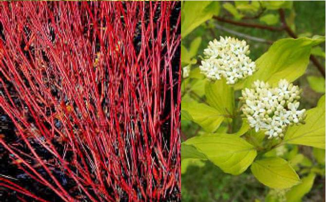 Cornus alba 'Sibirica'Red Twig Dogwood -