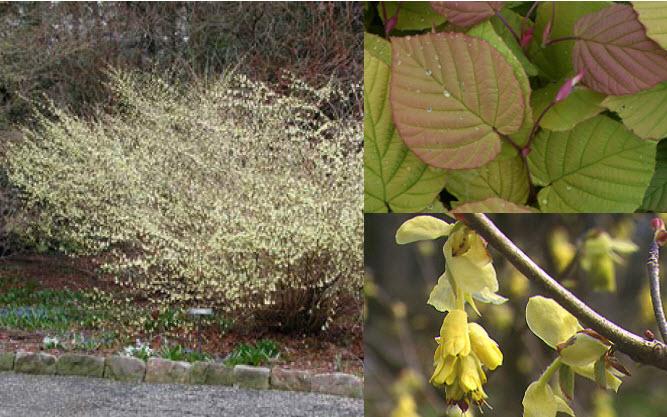 Corylopsis spicataWinterhazel -