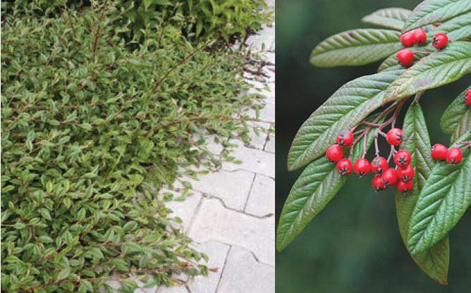 Cotoneaster salicifoliusWillowleaf Cotoneaster -