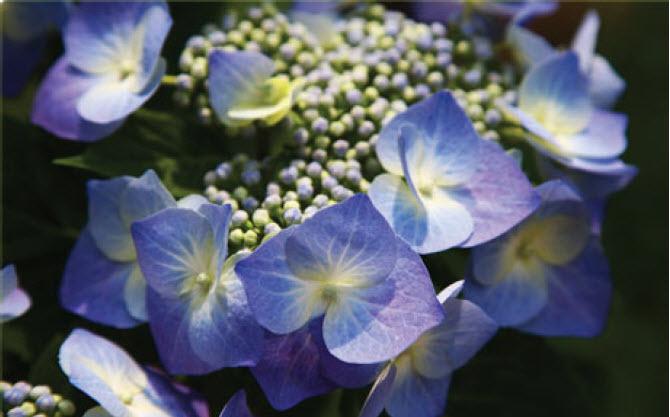 Hydrangea macrophylla 'Blue Cassell'Blue Cassel Hydrangea -