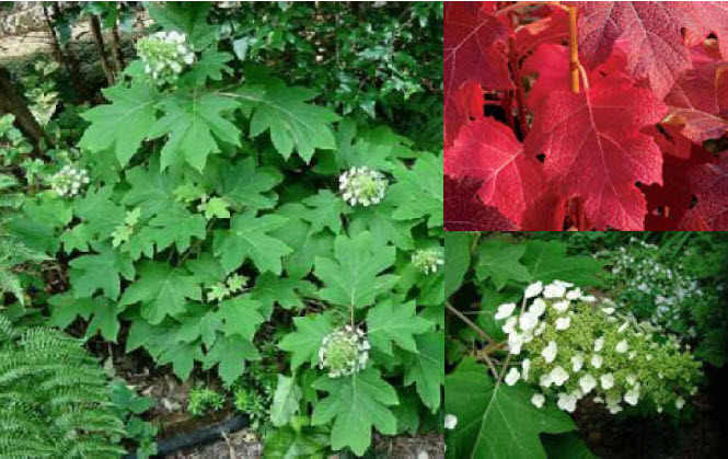 Hydrangea quercifolia 'Sikes Dwarf'Oakleaf Hydrangea -