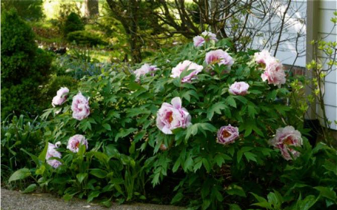 Paeonia suffruticosaTree Peony -