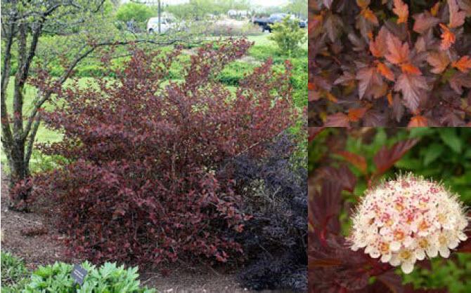 Physocarpus opulifolius 'Coppertina'Ninebark -
