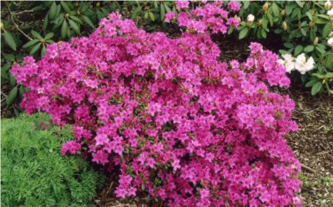 Rhododendron (Azalea - various)Deciduous Azalea -