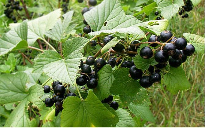 Ribes nigrumBlack Currant -