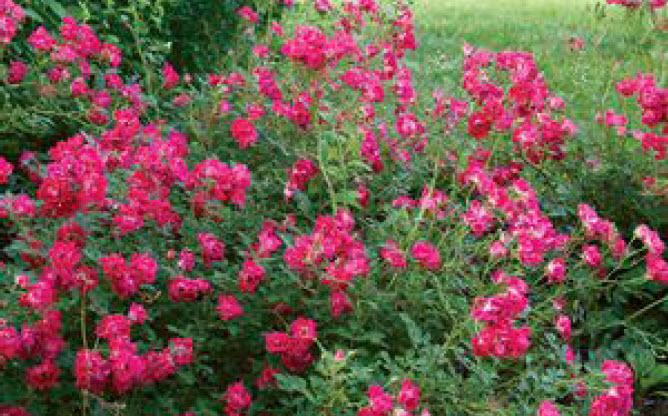 Rosa 'Red Drift'Red Drift Rose -